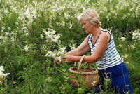 I am collecting meadowsweet blooms