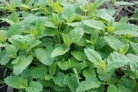 Fresh lemon balm leaves