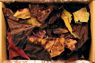 Storalapės bergenijos lapai