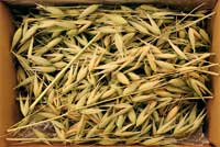 Oat grass and grain