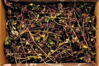 Vaistinio čiobrelio žolė