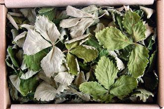 Žemuogių lapai