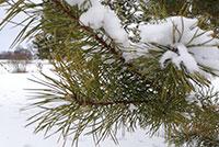 Padėkime savo organizmui žiemą. Pušų spygliai.
